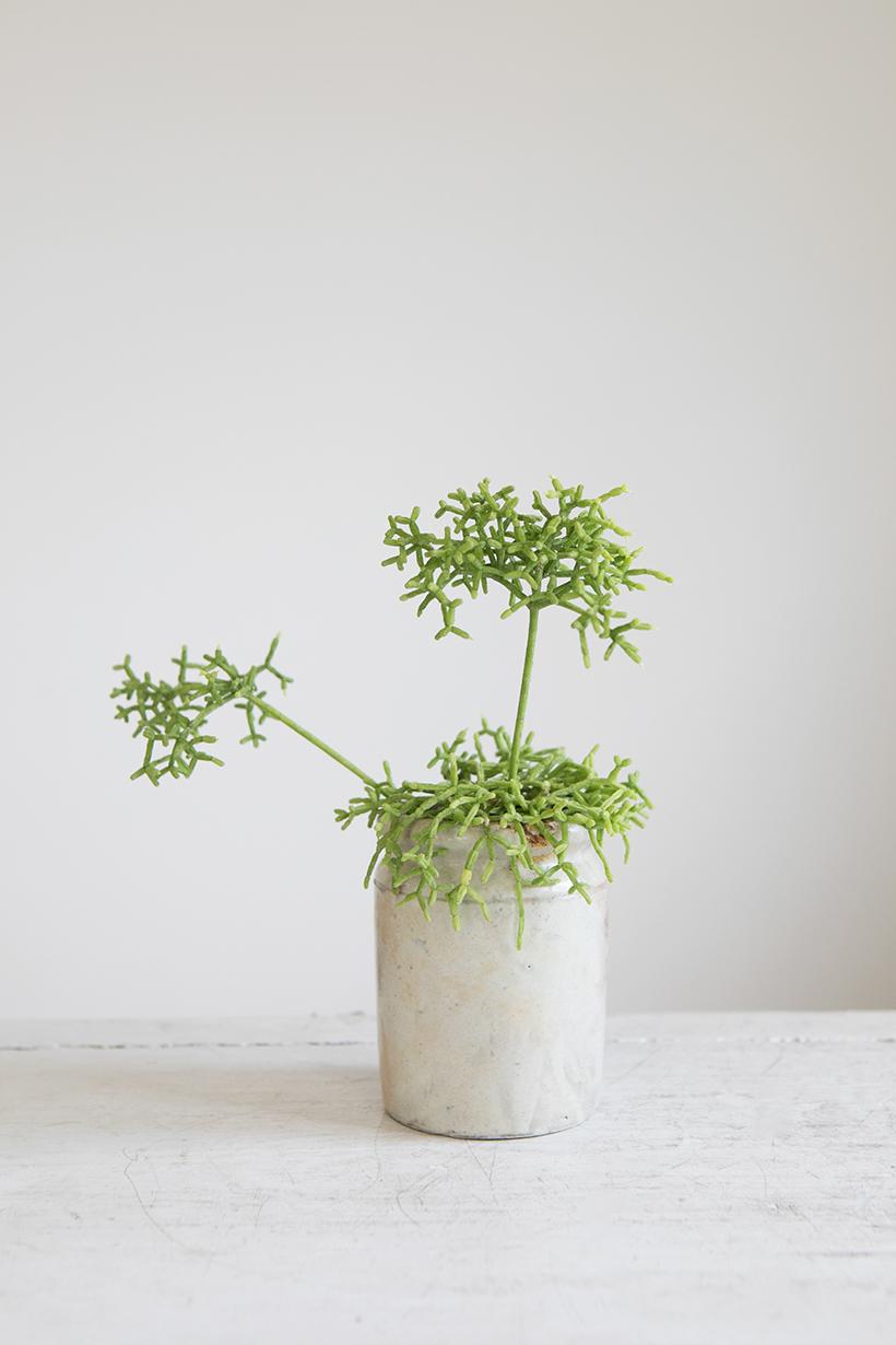 多肉植物/リプサリス